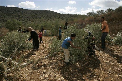 entwurzelte Bäume palästinensischer Bauern
